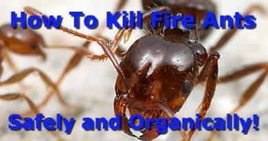The Best Way To Organically Kill Fire Ants!