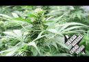 Make homemade cannabis MCT oil.