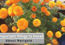 5 most important things to know about marigold | Organic garden | e URBAN ORGANIC GARDEN